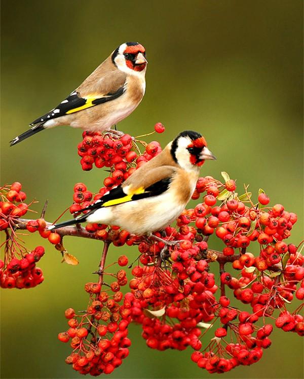 Beautiful Birds and Berries